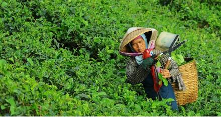 L'origine du thé
