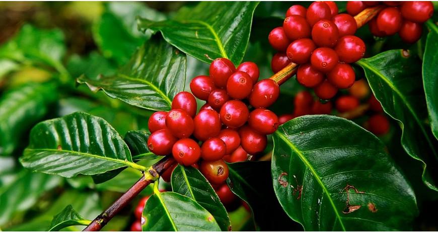L'origine du café